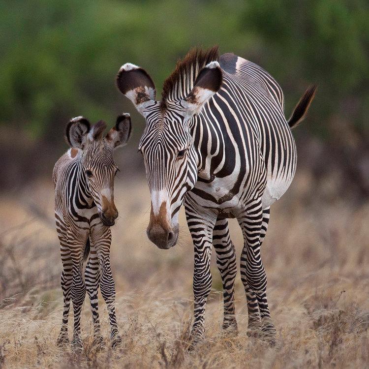 Grevy's Zebra near Lake Elementatia