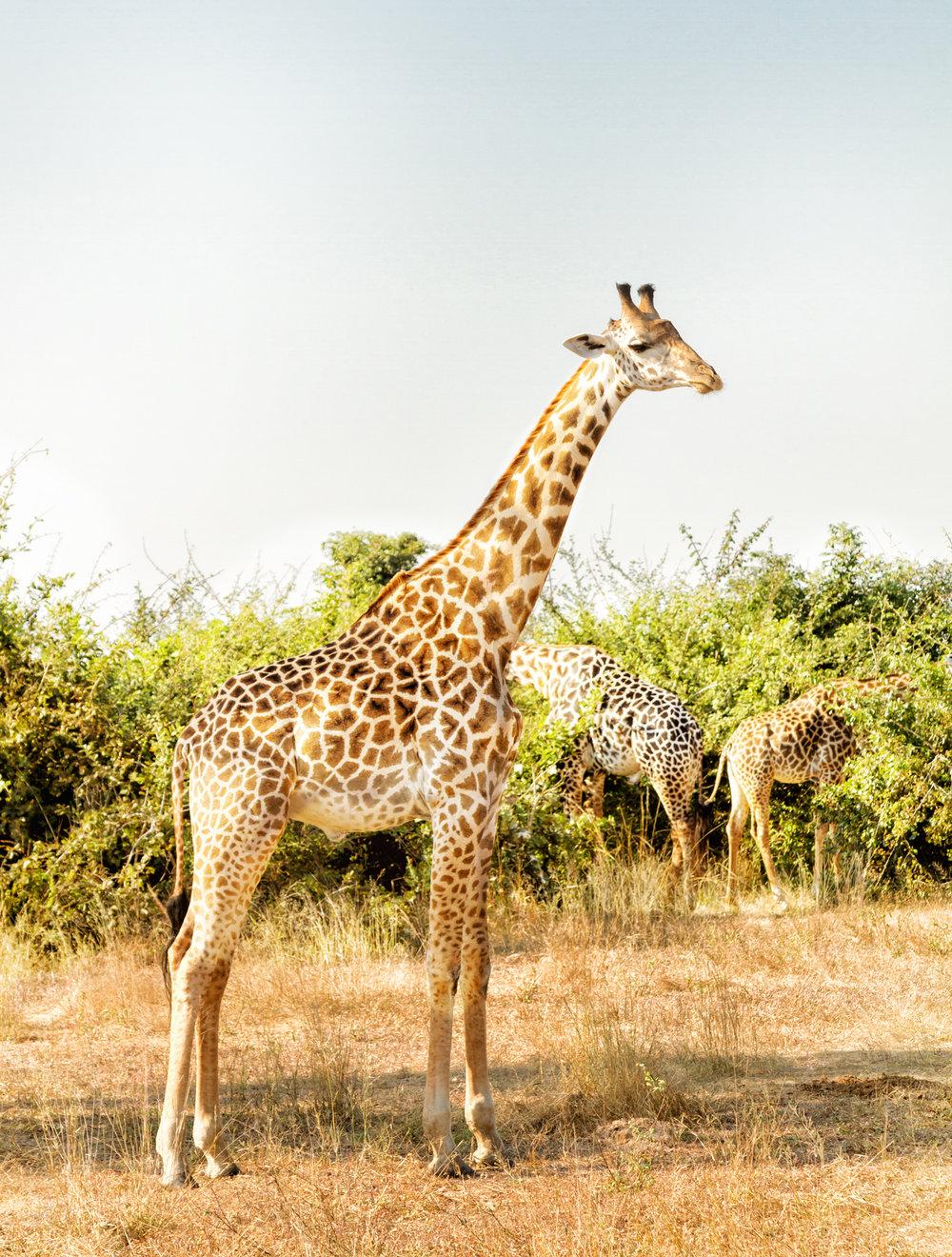 giraffeinzambia.jpg