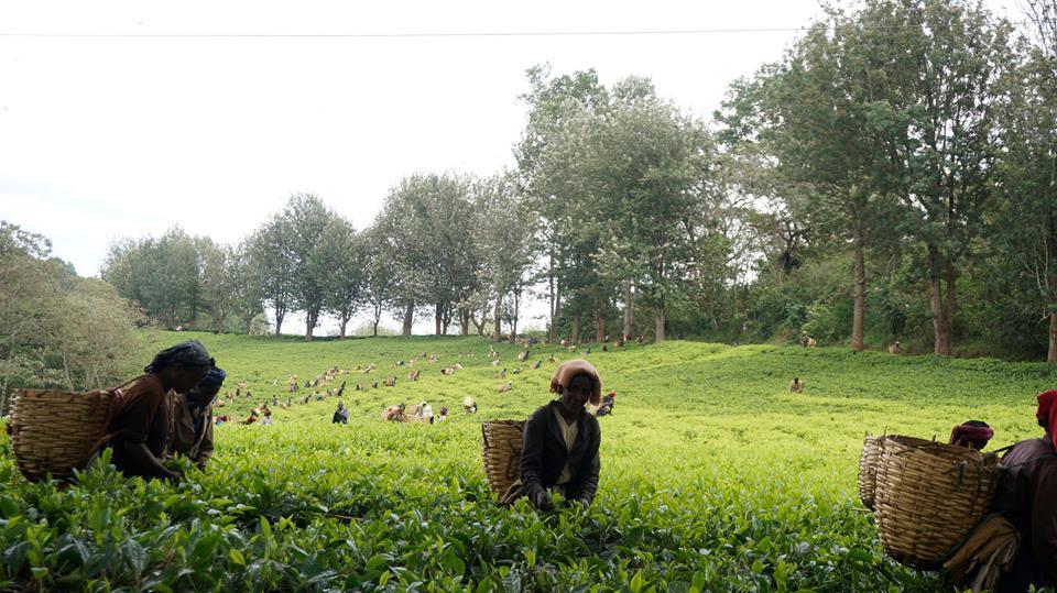 La récolte du café dans la région de Kaffa en Ethiopie. Crédit photo : Ethio Treasure Travel - Abel Abebe .