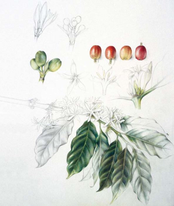 Coffea Arabica - Crédit: Beatrice Hasler, Uster Switzerland