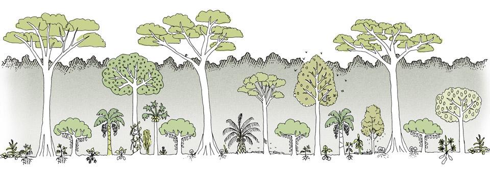 Système agroforestier autour de cacaoyers - Crédit: Greenpeace