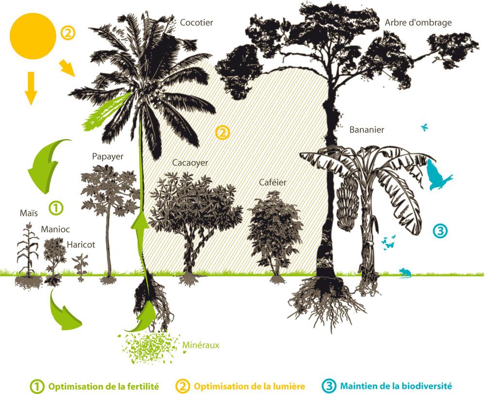 Système agroforestier tropical - Crédit: Ethiquable