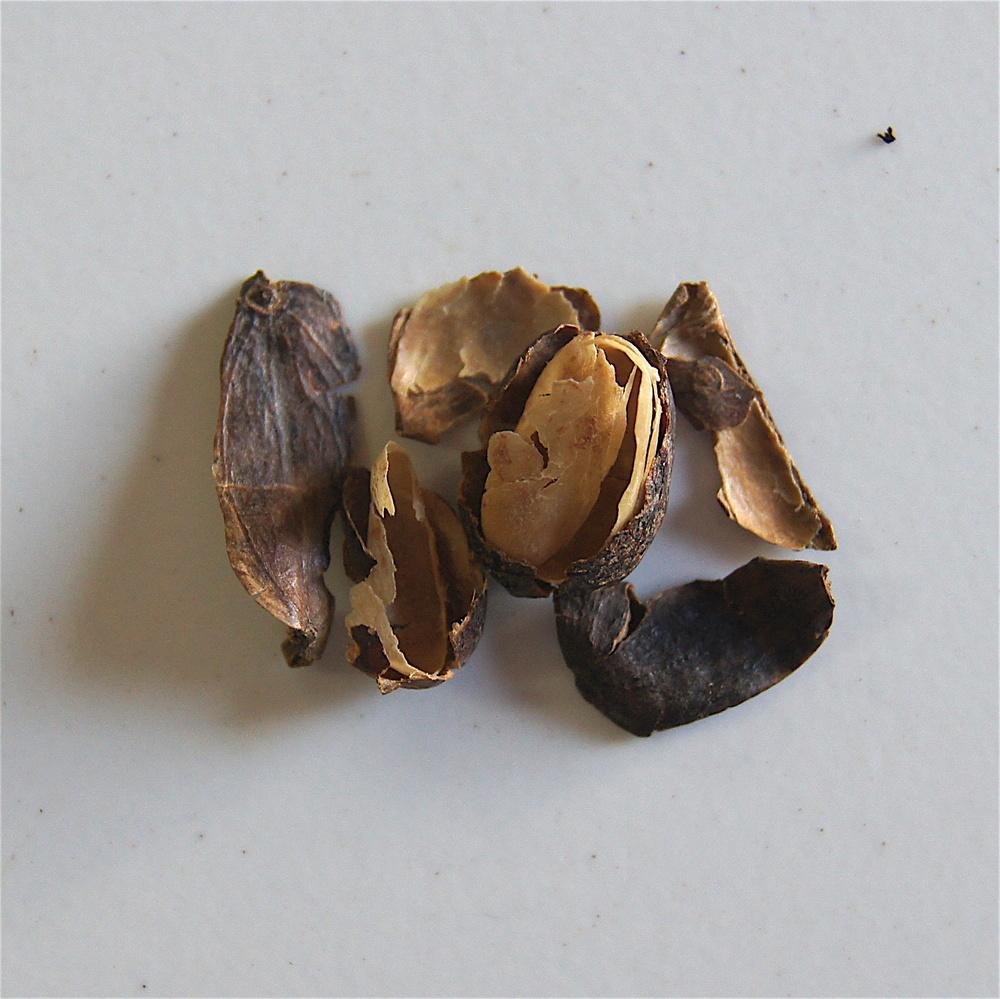 Fragments de cerise sèche - mauvais tri ou nettoyage