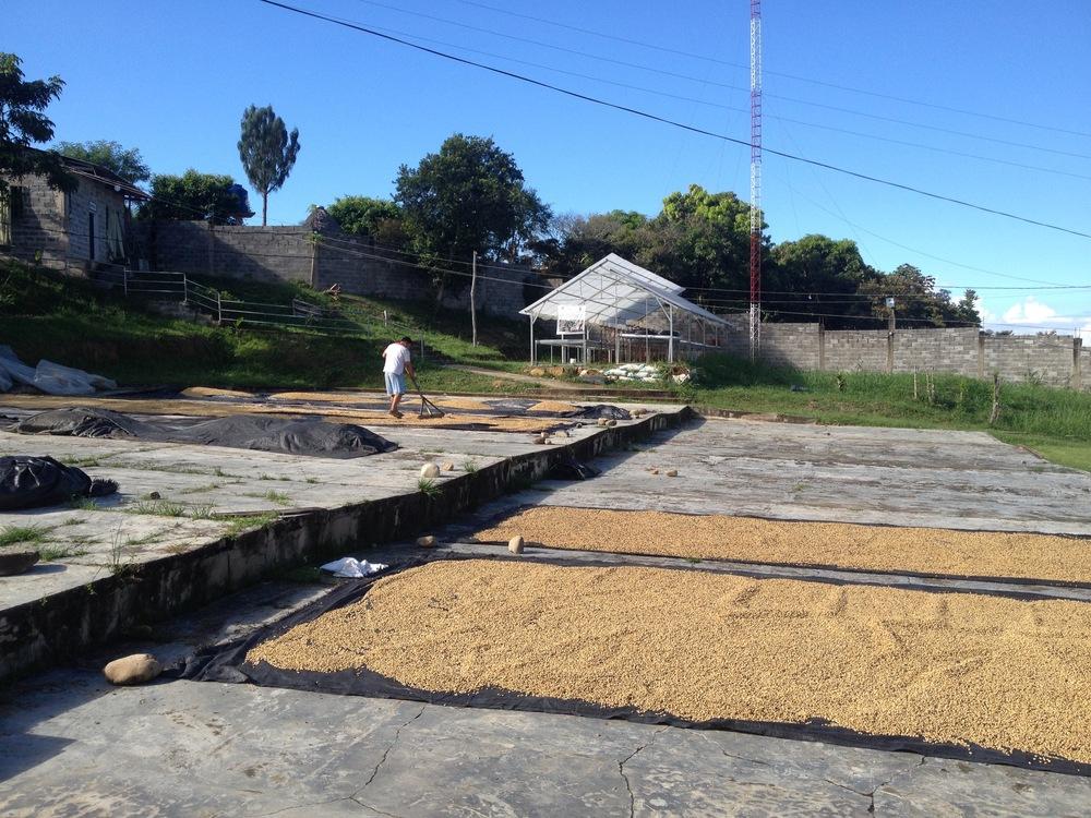 Séchage du café parche sur le patio de la coopérative