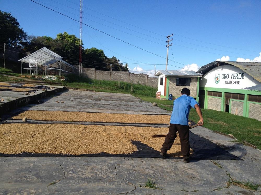 Secado del cafe en el patio de la cooperativa