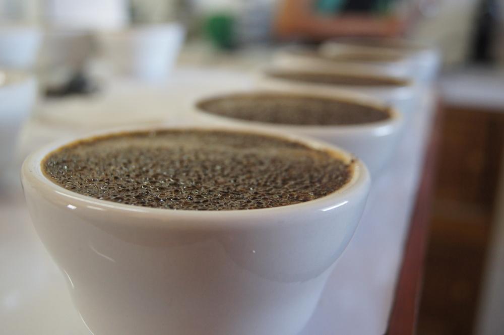 Séance de cupping au laboratoire de contrôle qualité de la coopérative Oro Verde.