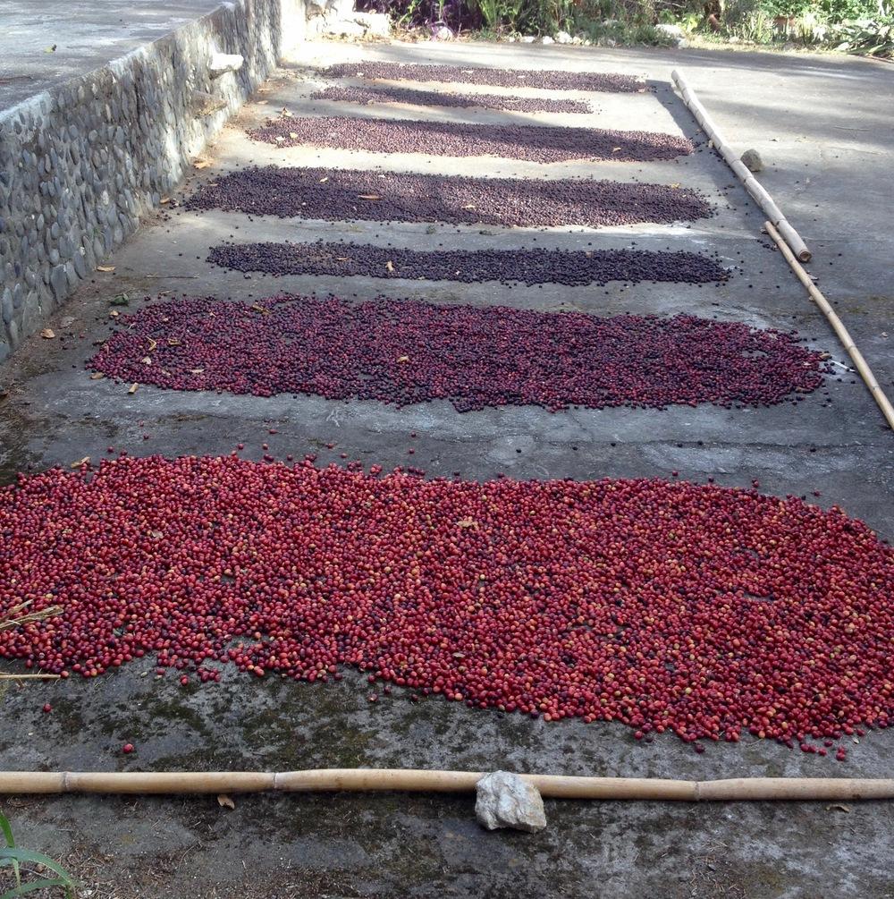 Café naturel à différents stades de séchage, dans la réserve Rumi Wilco, Vilcabamba, Equateur.