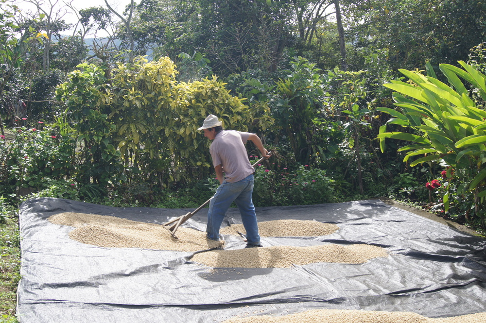 Séchage du café sur le patio en ciment de la finca