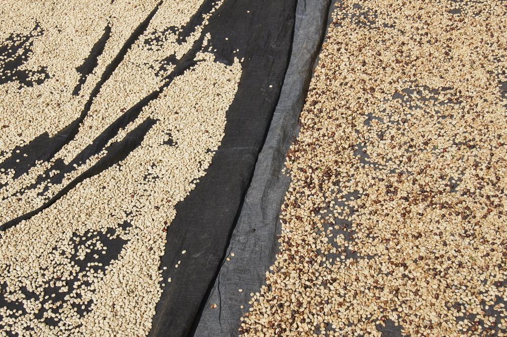 Différence entre du café de primera et de segunda