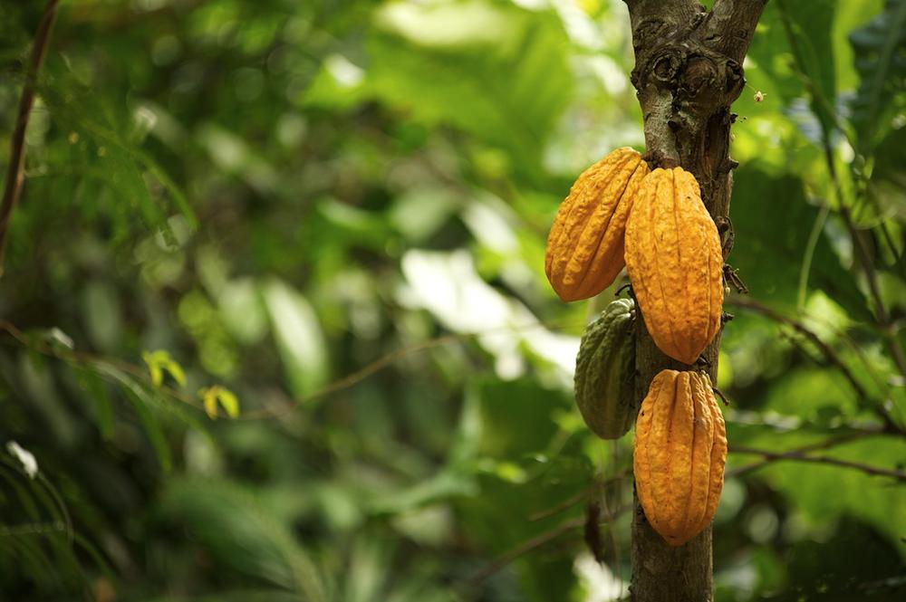 Fèves de cacao  Trinitarios  -Crédit: ForestFinance