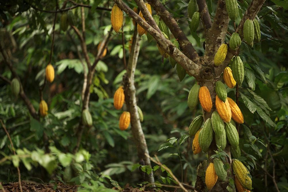 Plantation de cacao au Pérou -Crédit: ForestFinance