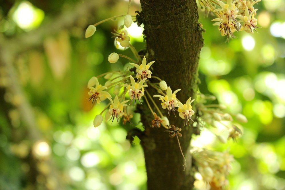 Fleurs de cacaoyer - Crédit:ForestFinance