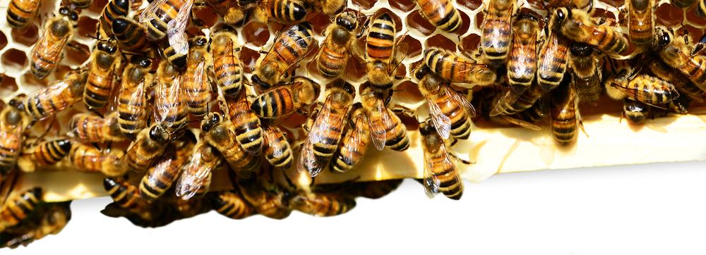 BeesDivider.png