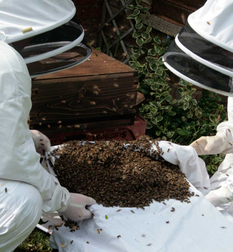Bees being emptied from a box to be re-hived.