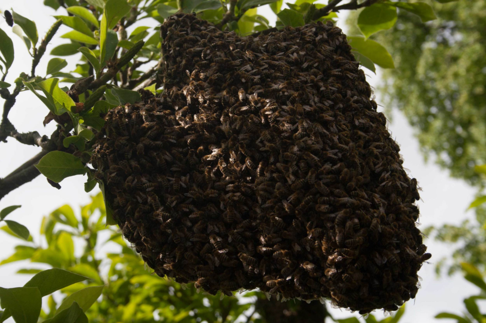 A swarm of bees high in a tree