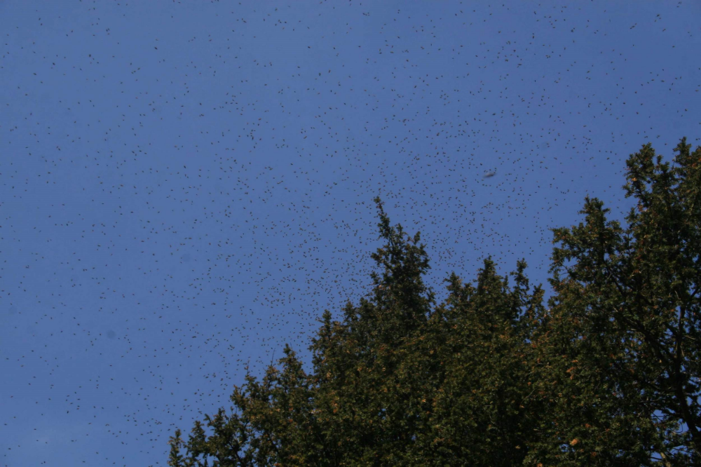 Thousands of bees in the air swarming, just before settling onto a tree.