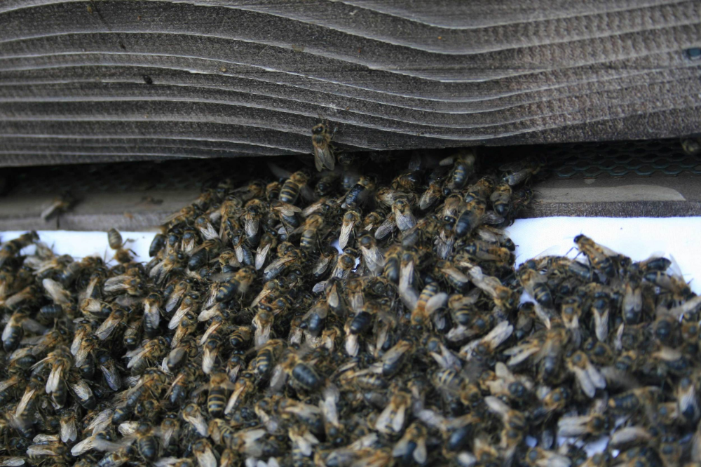 Honey bees making their way up the ramp and into their new hive.