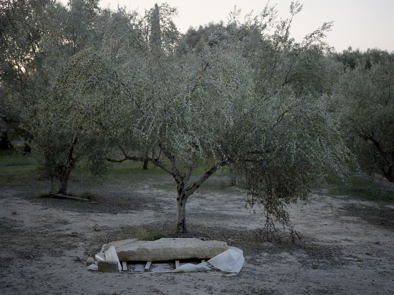 The warrior was buried in an olive grove outside the acropolis of Pylos. Though archaeologist Carl Blegen explored the olive grove in the 1960s, he did not find anything. (Myrto Papadopoulos)