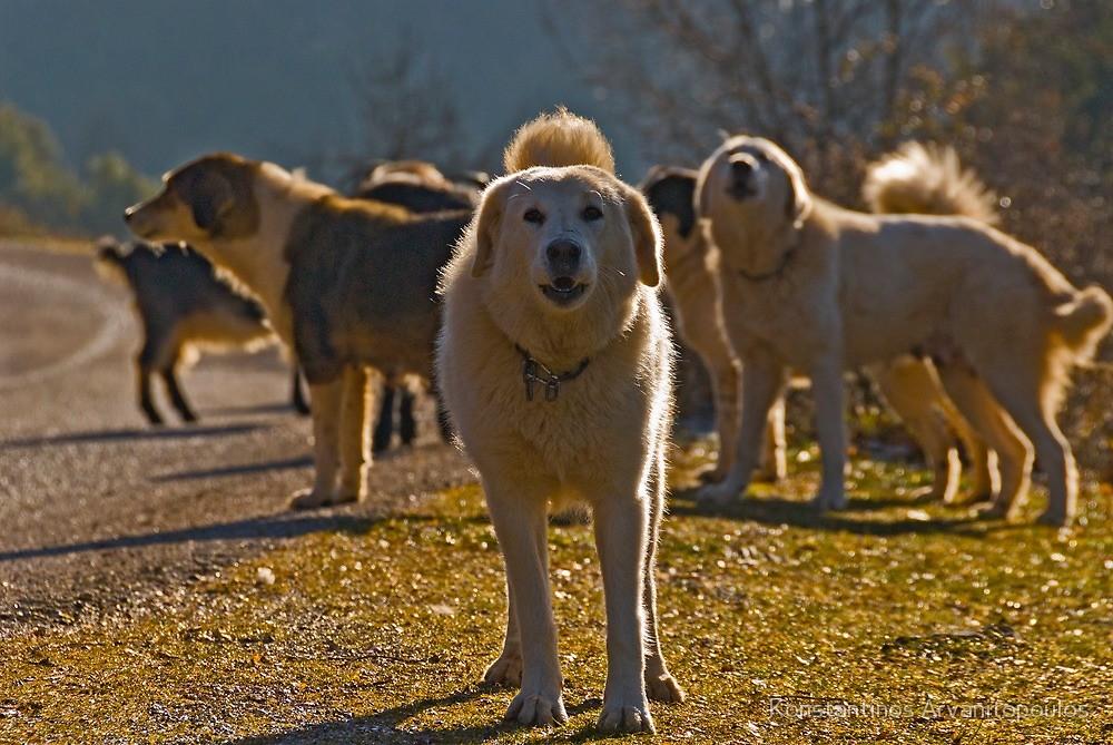 Greek shepherd dog by Konstantinos Arvanitopoulos