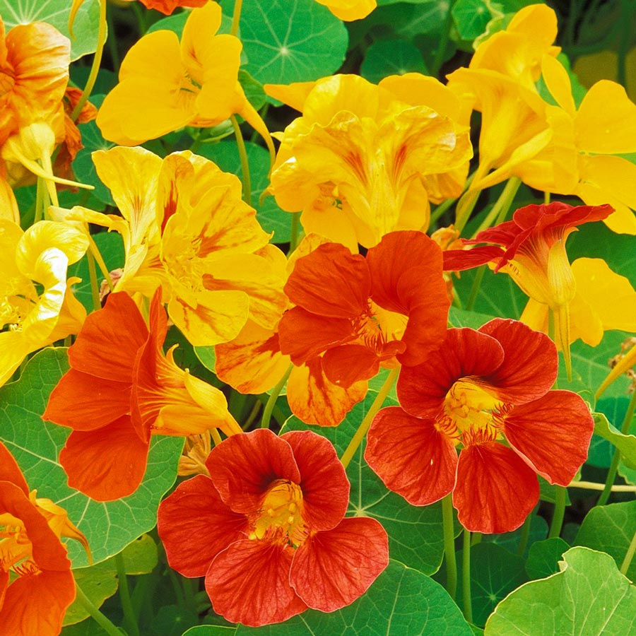 FREE-Nasturtium-Seeds-Gratisfaction-UK-Freebies.jpg