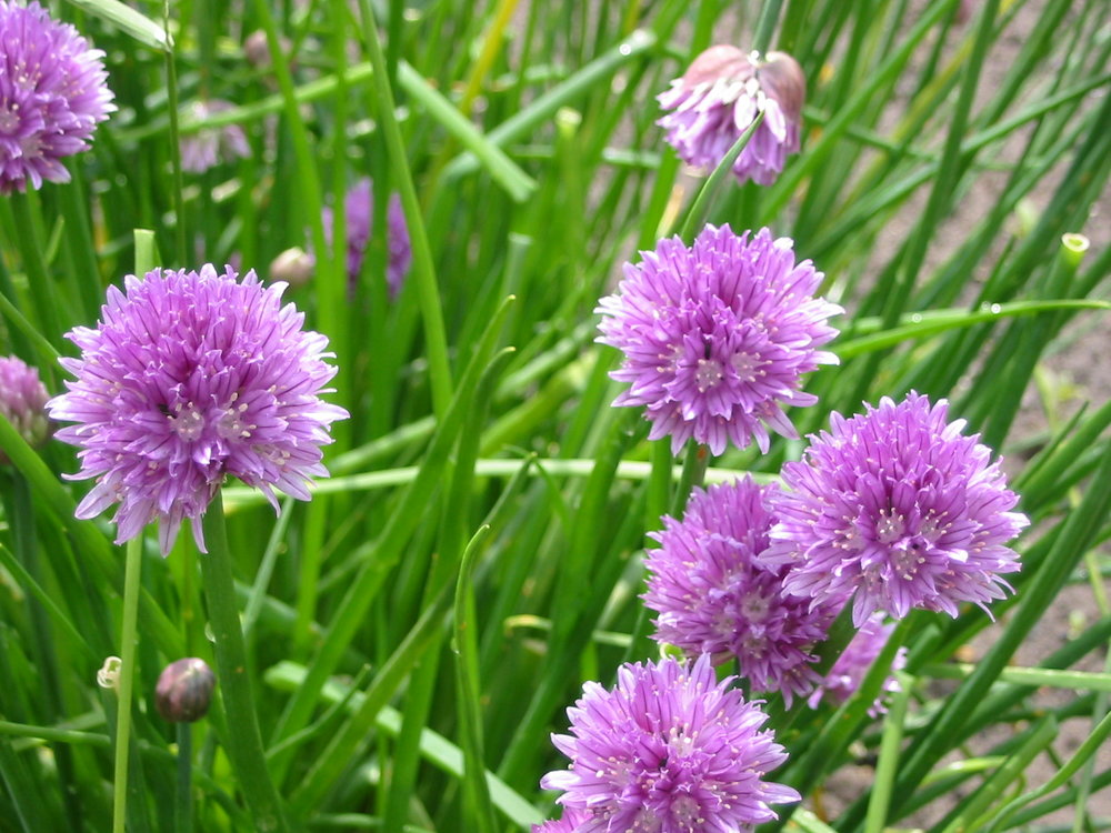 Allium flower wallpaper1.jpg