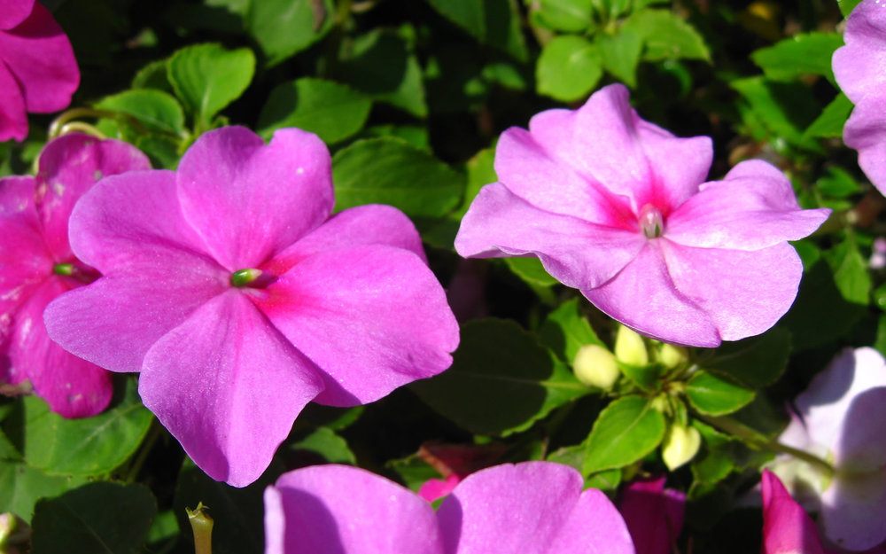 impatiens-flower-wallpaper-wide-full-hd.jpg