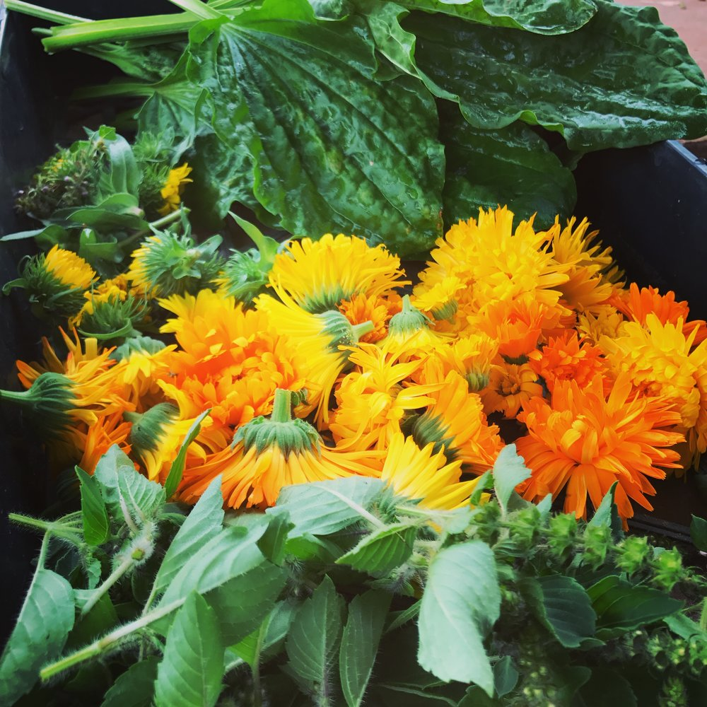 From bottom to top: Holy Basil, Calendula, Grindelia and Plantain