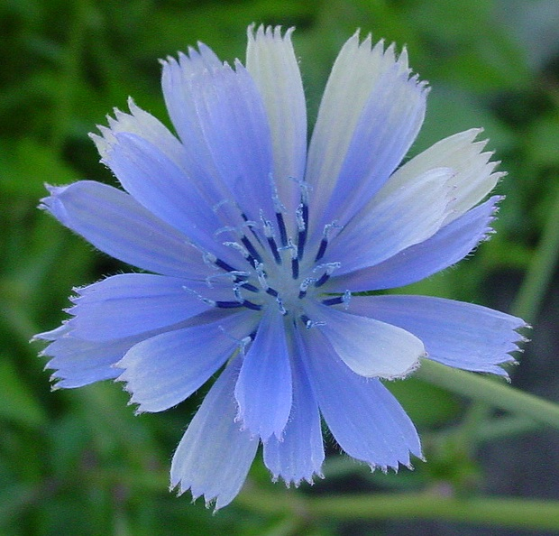 Chicory in flower.