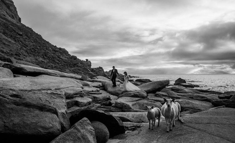 epic wedding image, bride and groom, sheep, lofoten, Norway