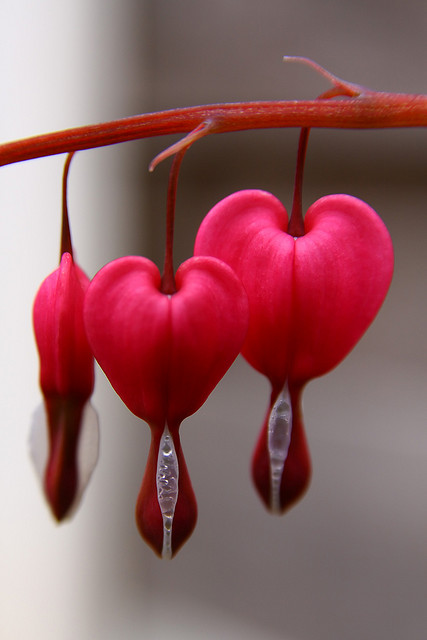 Bleeding-Heart-by-Paul-Tomlin.jpg