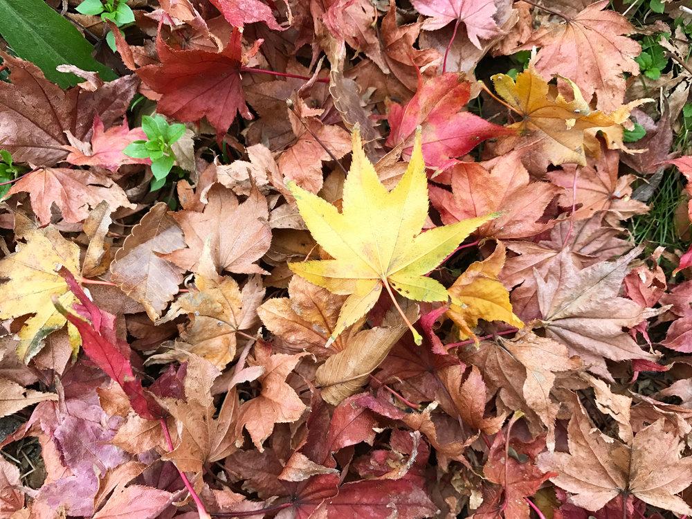 Japanese maple leaves.