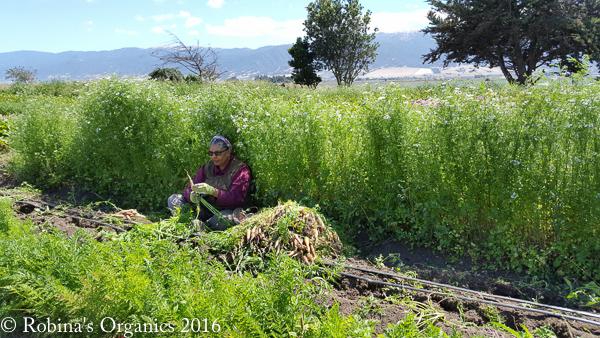 Carrot Harvest (2).jpg