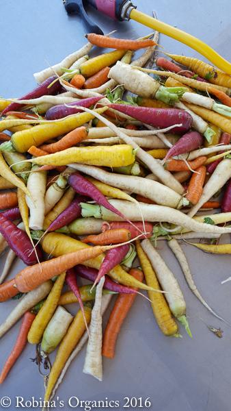 First Harvest Rainbow Carrots.jpg
