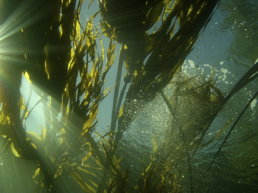 Pacific northwest kelp forest
