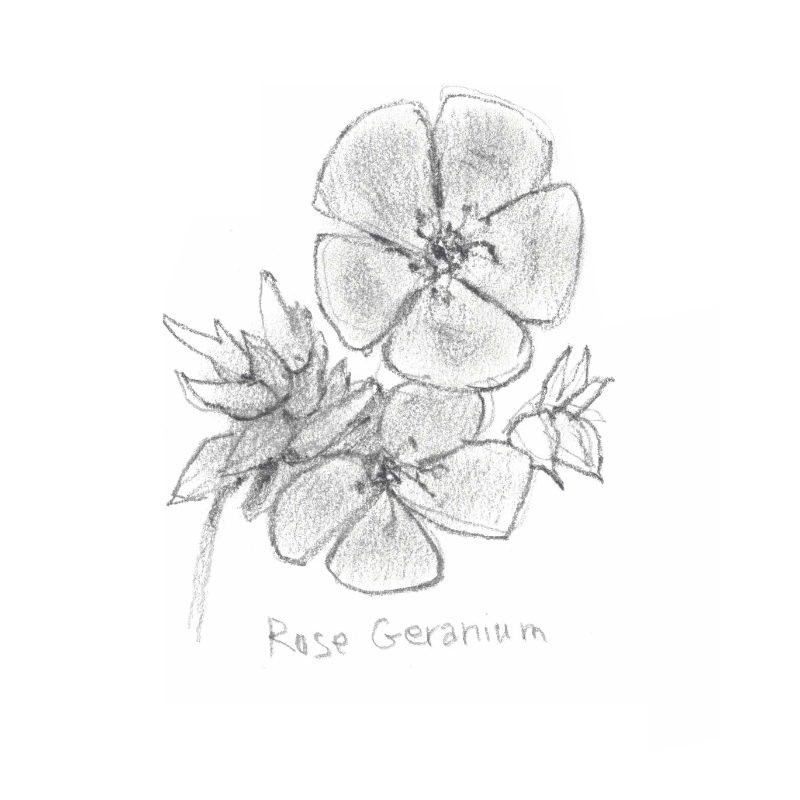 ROSE GERANIUM: Perfect for balancing and toning the skin. Astringent and antiseptic properties helps to regulate sebum.