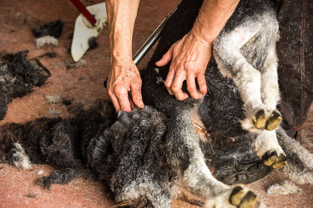 At sheering time I help local farmers with wrapping the fleeces after being shorn which allows me to pick the best fleeces for weaving.