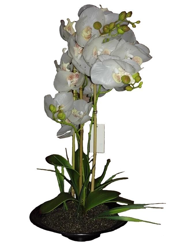 primrose white orchid in plastic pot - 52cm   n15,000
