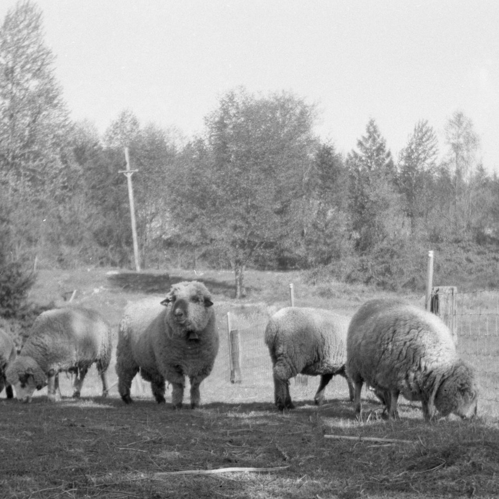 Sheep, Charles W. Howard household, Puyallup, WA, c. 1940. Detail from gelatin-silver print.
