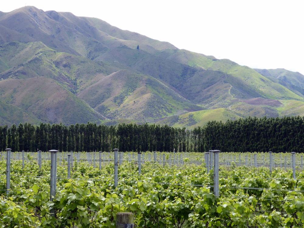 Pasquale Kurow vineyard