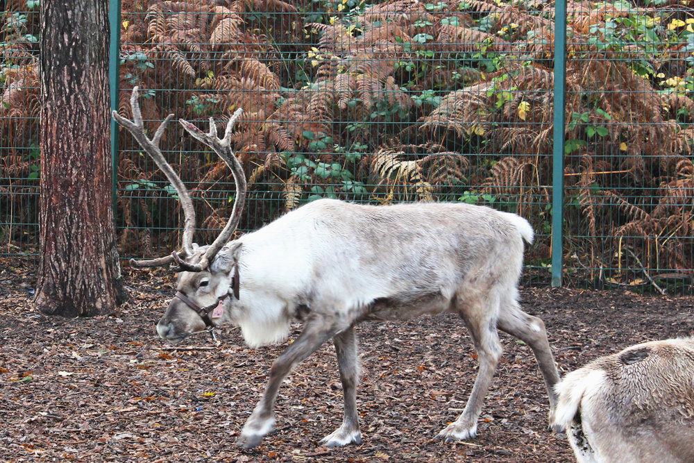 center-parcs-reindeer.jpg