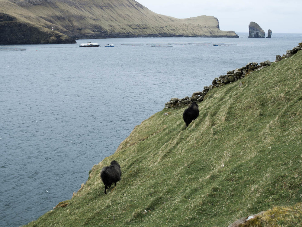 There are over 90 000 sheep on the Faroe Islands   Two Drops Of Water