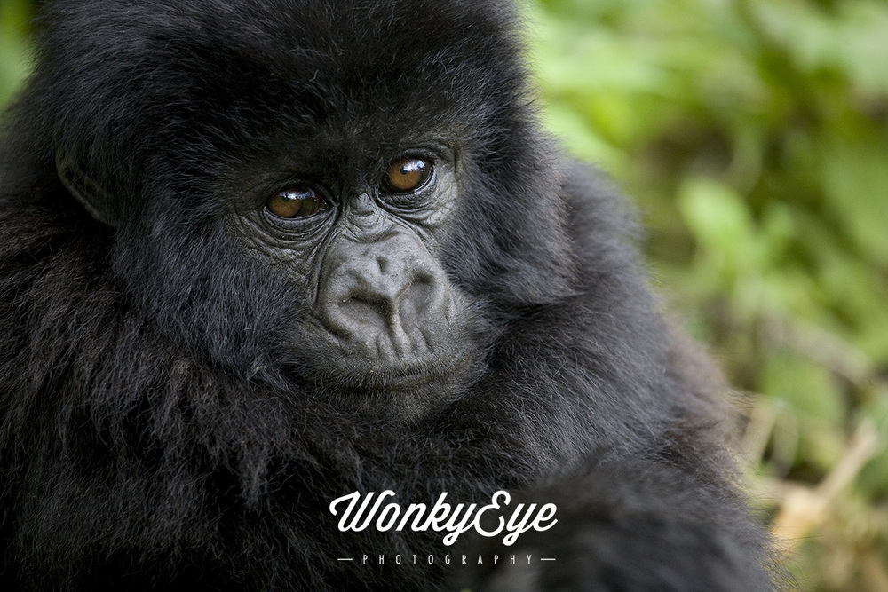 Baby_Gorilla_clr_[Rwanda].jpg