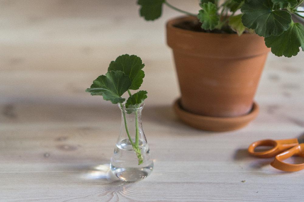 4) Sett den i vann på et lunt og lyst sted, men ikke med stekende sol over lang tid, for da blir den kokt.