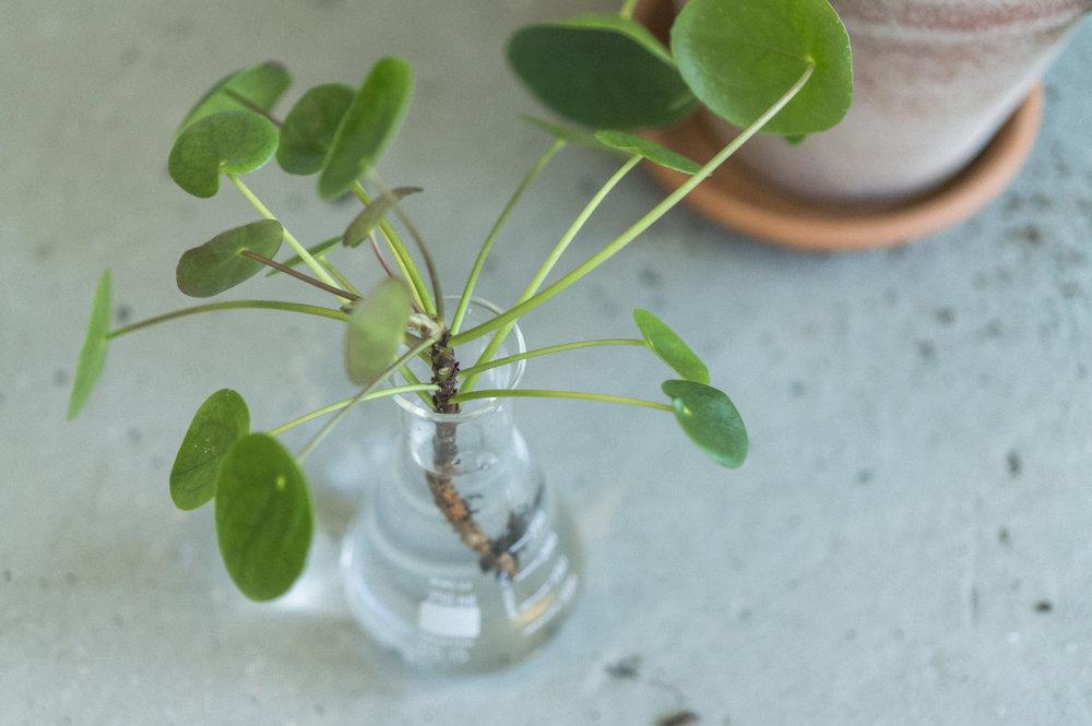 3) Etter et par uker vil det vokse frem røtter. Du kan eventuelt også hoppe over trinn 2 og sette avleggeren direkte i ny jord.