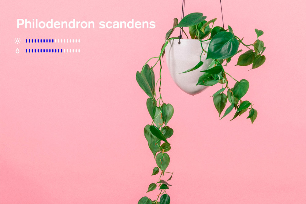 plantemagasinet gro philodendron scandens