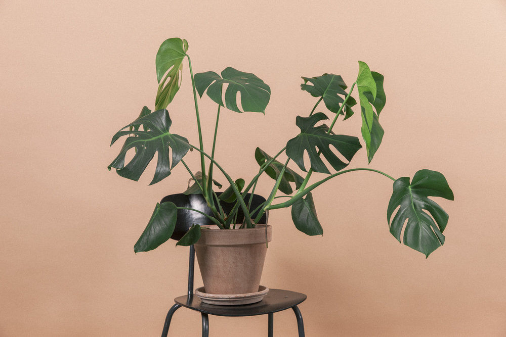 monstera deliciosa gromagasinet gro vindusblad