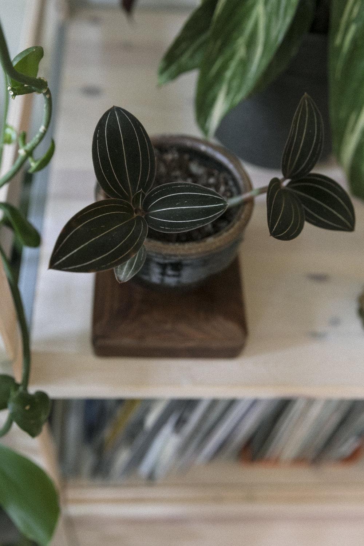 Ludisia discolor. Den eneste orkideen i hjemmet.