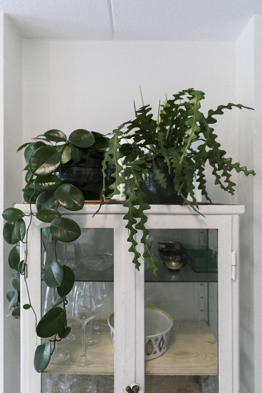 Hoya og fiskebeinskaktus