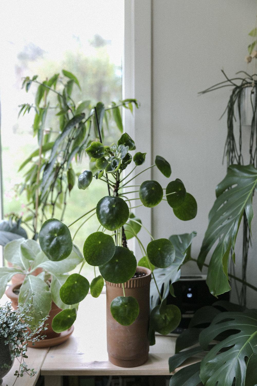 Plantemagasinet GRO Jenny Leite-Vikra Pilea