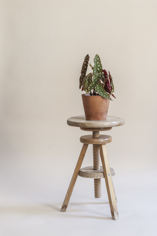 begonia maculata plantemagasinet gro